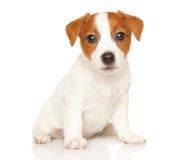 Jack Russell terrier på vit Arkivfoto