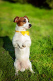 Jack Russell Terrier in park Stock Photography