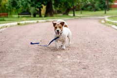 Lost dog walking with loose leash on ground happy to find its owner royalty free stock photos