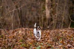 Jack Russell Terrier passa i boschetti nella foresta nuda nell'inverno in anticipo immagini stock libere da diritti