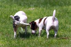 Jack Russell Terrier Peeing auf anderem Hund Lizenzfreie Stockfotografie