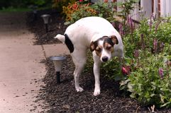Jack Russell Terrier Peeing auf Anlagen Stockfotos