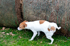 Jack Russell Terrier peeing on hay bale on a farm. Jack Russell dog hiking his leg up to pee outdoors on a hay bale Royalty Free Stock Image