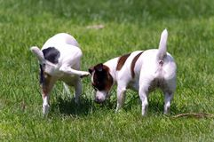 Jack Russell Terrier Peeing on other Dog Royalty Free Stock Photography