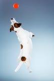 Jack Russell Terrier pequeno que salta altamente imagens de stock