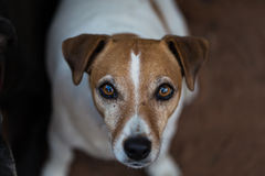 Jack Russell Terrier. Pet. Close up face. Stock Images