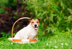 Jack Russell Terrier pet dog sitting inside basket at green grass lawn royalty free stock image