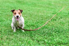 Obedient dog and long-line training leash on green grass background. Jack Russell Terrier with pet training equipment stock photography
