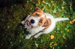 Jack russell terrier photo taken from above stock image