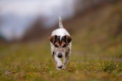 Jack Russell Terrier pies biega w jesieni na szerokiej ścieżce fotografia royalty free