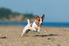Jack Russell Terrier pies na plaży Obrazy Royalty Free