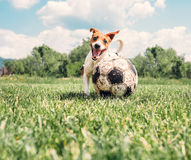 Jack Russell Terrier play with big old ball Stock Images