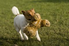 Jack russell terrier Stock Image