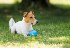 Jack russell terrier. A jack russell terrier playing with a ball Stock Photography