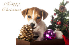 Jack Russell Terrier playing with Christmas decorations Stock Images