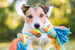 Close up portrait of dog playing fetch with colorful toy rope. Jack Russell Terrier playing at fine summer day stock images