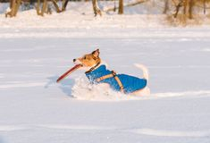 Side view of a dog running with disk in mouth through snow field. Jack Russell Terrier playing with frisbee disc Royalty Free Stock Image