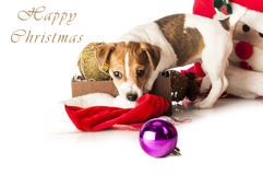 Jack Russell Terrier playing with Santa hat Royalty Free Stock Photos