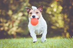 Happy pet dog running and playing fetch game with toy ball. Jack Russell Terrier playing at summer sunny day at backyard lawn royalty free stock photography