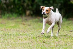 Jack Russell Terrier Playing With A Tennis Ball. In A Grass Meadow royalty free stock images