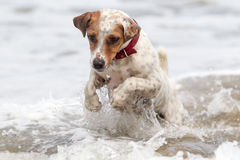 Jack Russell Terrier Playing Into Waves photos libres de droits
