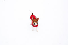 Jack Russell Terrier playing in winter Stock Photos