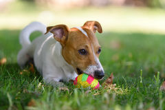 Jack russell terrier. Playng with a small ball Stock Images