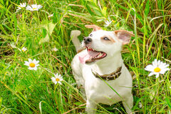 Jack Russell Terrier plays on a floral glade in Sunny weather Royalty Free Stock Photos