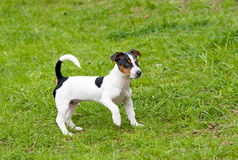 Jack Russell Terrier plays. Royalty Free Stock Image