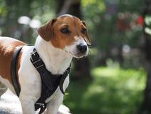 Jack Russell Terrier Portrait Imagenes de archivo