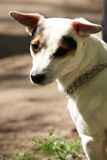 Jack Russell Terrier portrait Stock Photography