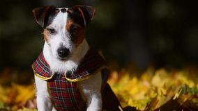 Jack Russell terrier portrait closeup stock video footage