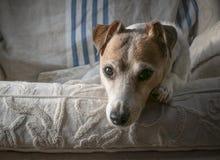 Jack Russell Terrier Portrait stockbild