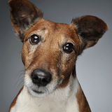 Jack Russell Terrier portrait in a grey photo studio. Jack Russell Terrier portrait in  grey photo studio Royalty Free Stock Photos