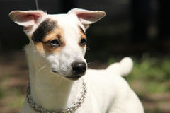 Jack Russell Terrier portrait Royalty Free Stock Photography