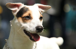 Jack Russell Terrier portrait Stock Photo