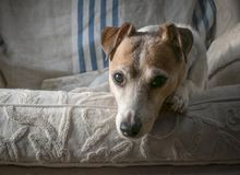 Jack Russell Terrier Portrait immagine stock