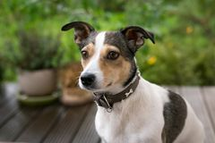 Jack russell terrier portret outdoor. Green background stock photography