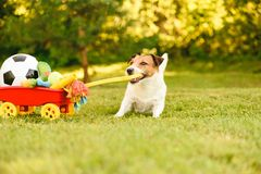 Happy dog stealing hoard of toys and balls in wheelbarrow to play in garden. Jack Russell Terrier pulling cart full of pet toys royalty free stock photography