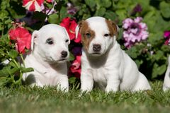 Jack russell terrier pupies sitting in front o Royalty Free Stock Image