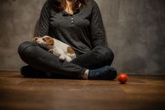 Jack Russell terrier puppies climbed onto the girl`s knees on a wooden floor stock image