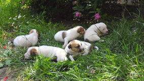 Jack Russell terrier puppies stock video footage