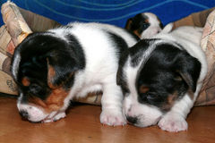 Jack Russell Terrier Puppies pequeno imagem de stock royalty free