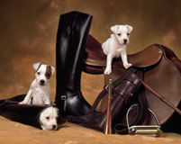 3 jack russell terrier puppies Royalty Free Stock Image
