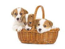 Jack Russell Terrier puppies sitting in a basket. Stock Image
