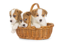Jack Russell Terrier puppies sitting in a basket. Royalty Free Stock Images