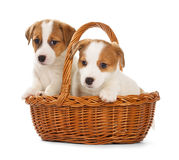 Jack Russell Terrier Puppies Sitting In A Basket. Royalty Free Stock Photography