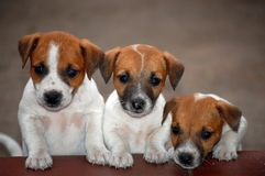 Jack Russell Terrier Puppies Royalty Free Stock Photography