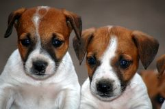 Jack Russell Terrier Puppies Stock Photos