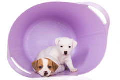 Jack russell terrier puppies Stock Photography